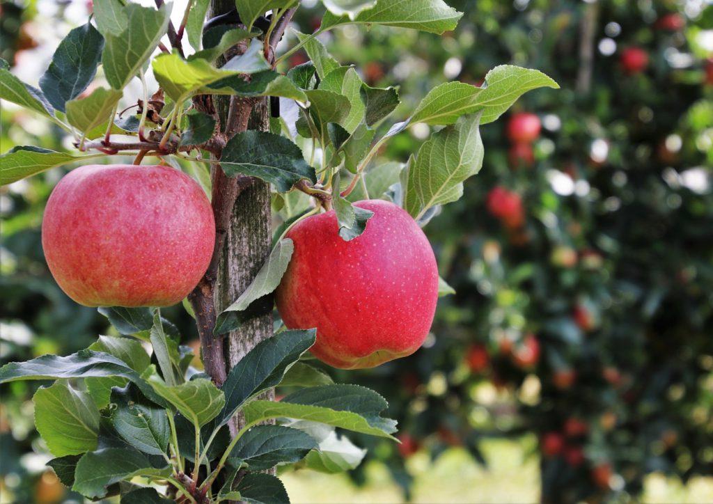 Nieuwe oogst appelen & peren