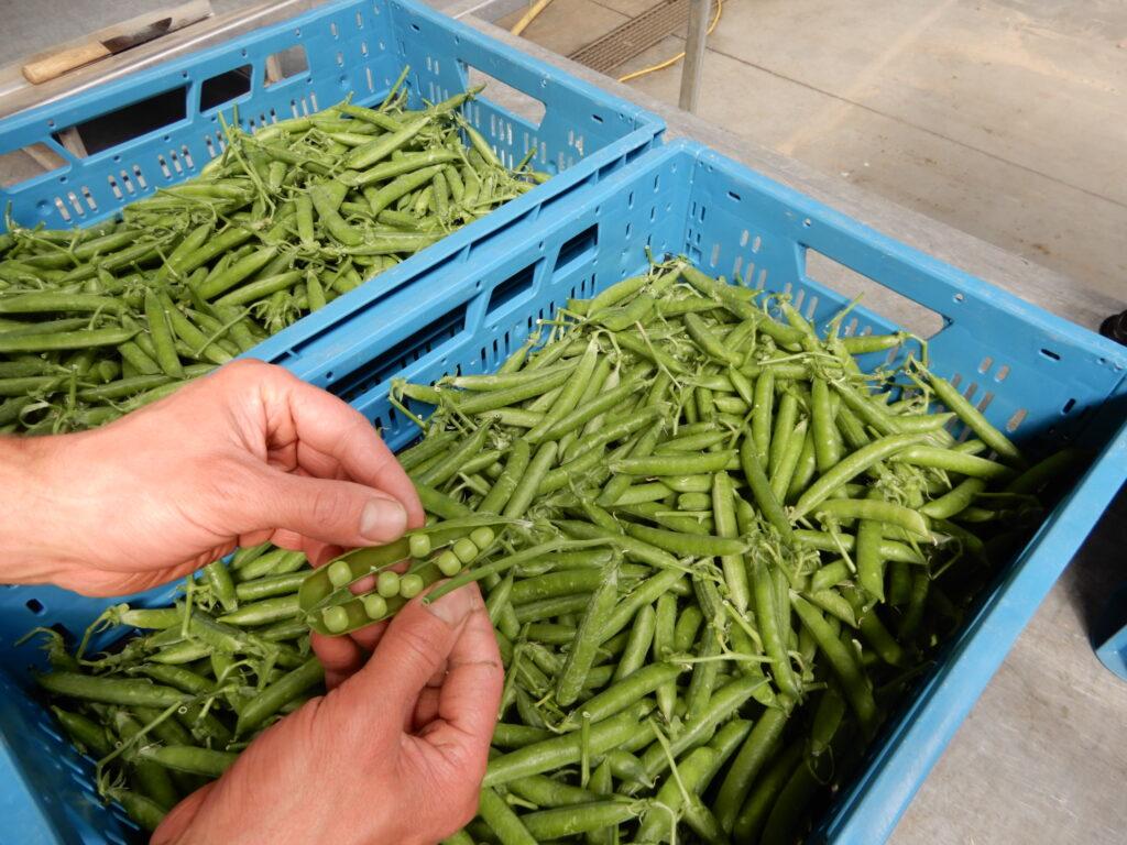 Erwten: kleine, groene toverbolletjes!