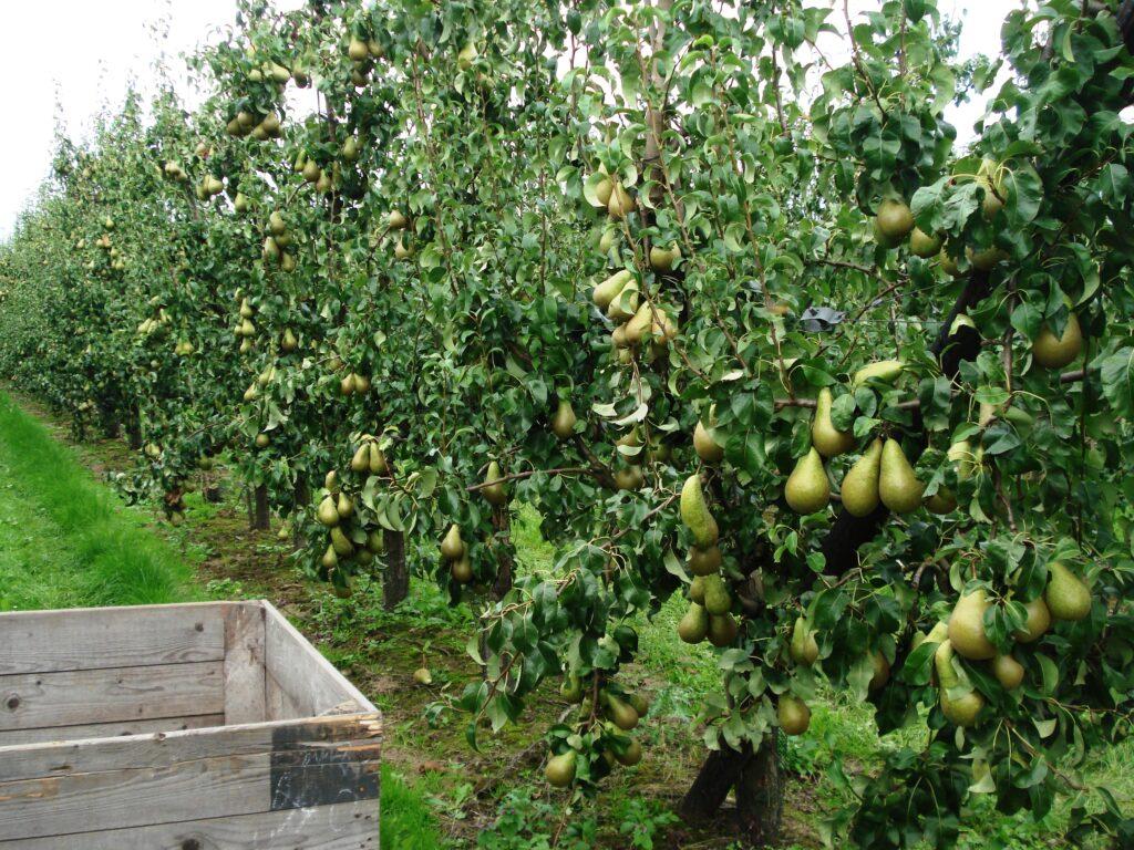 Nieuwe oogst appelen en peren